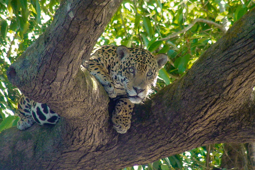 Cristalino-Lodge-Jaguar-Panthera-onca-Jorge-Lopes.jpg
