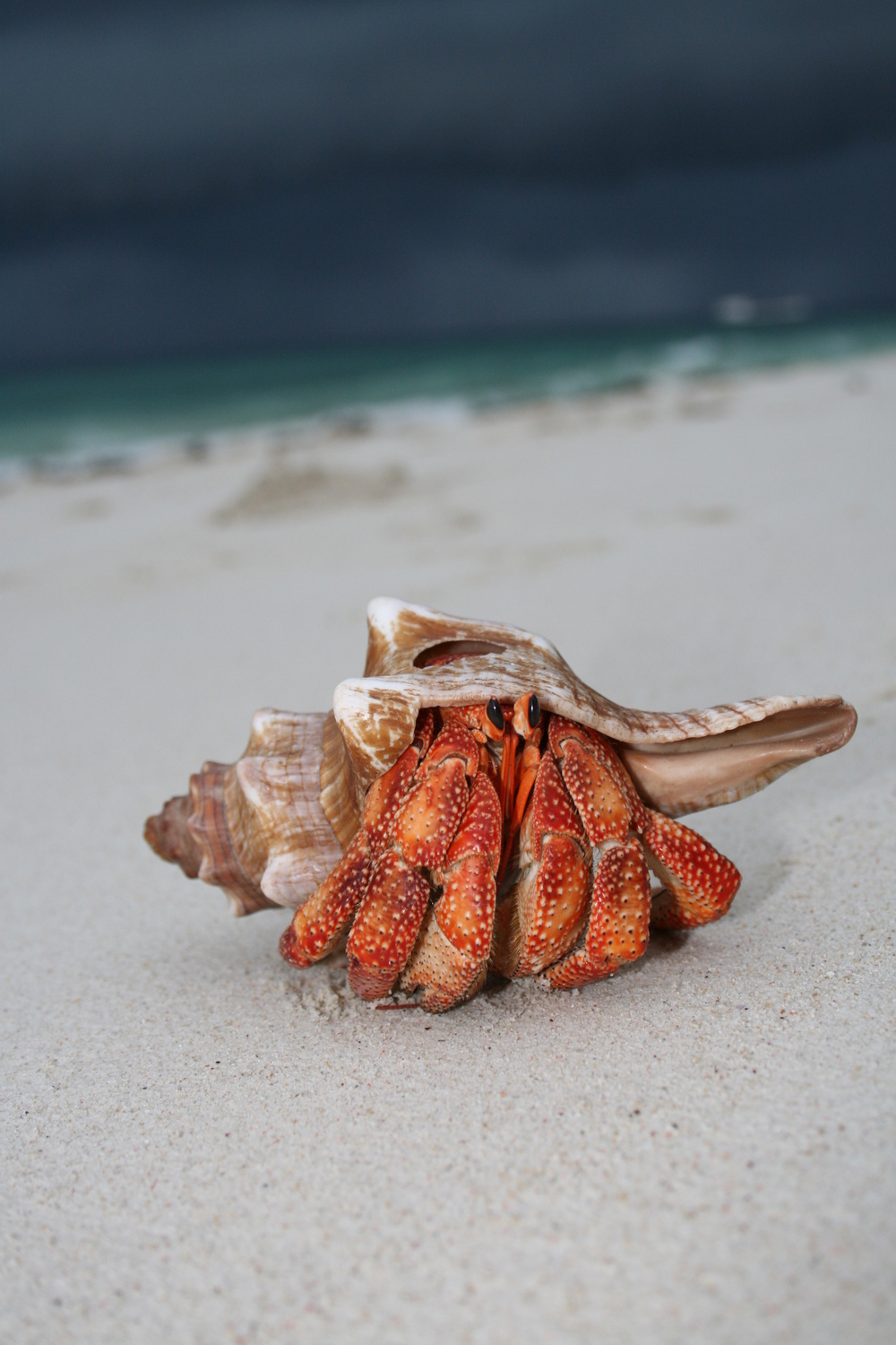 Hermit_crab_on_the_beach.jpg