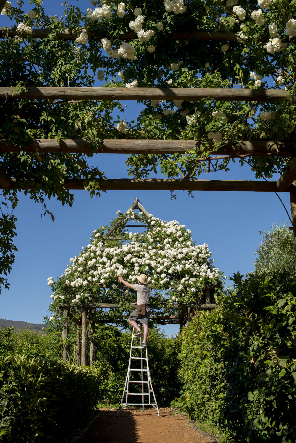18.Rose arbour in citrus garden getting a trim.jpg