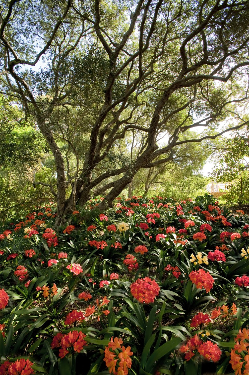 26.Collection of 7 000 indigenous clivias blooming in September.jpg