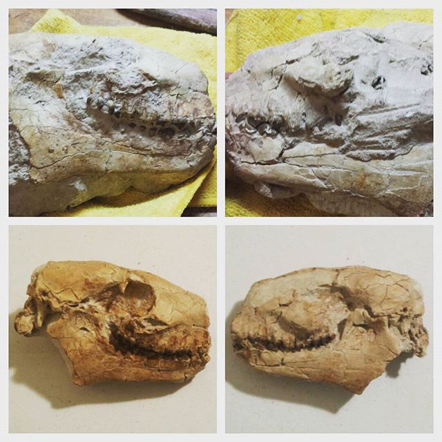 Little mammal side project before and after. Oreodont partial scull from the White River Formation. Dime a dozen but still fun to mix it up! This little Late Eocene-Oligocene guy was prepped using one of our custom built micro-blasters.