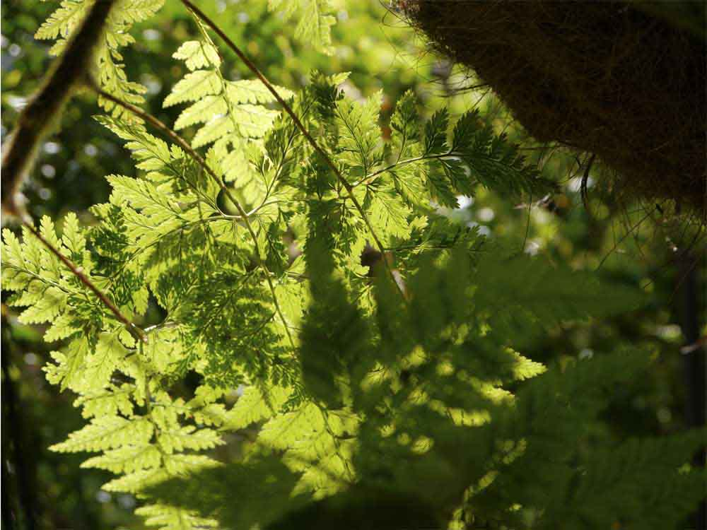 From the delicate fronds of this hanging fern...
