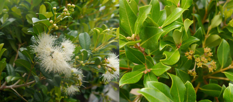 Syzygium australe 'Resilience' and Metrosideros collina 'Little Dugald'.