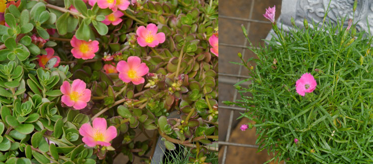 For the colour fans: Portulacca and Carnation 'Divine'.