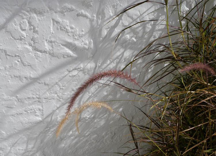 Pennisetum casts shadows on the rough rendered walls of the house.