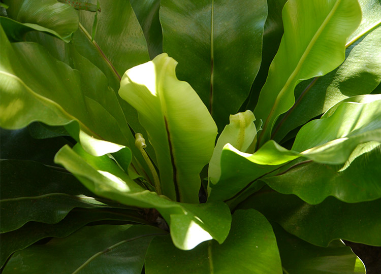 31. The Bird's Nest Fern