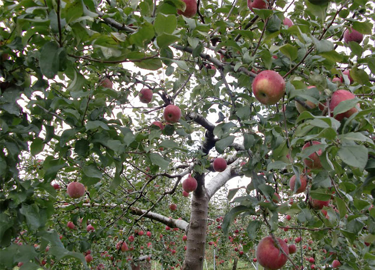 Image:  The apple trees at an apple orchard at Kamimoku, Gunma, Japan by Kamimoku International Village via Wikimedia Commons.