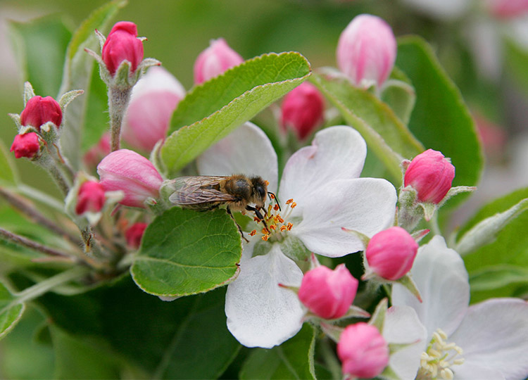 Image: Bee in apple blossom by Fir0002 via Wikimedia Commons.