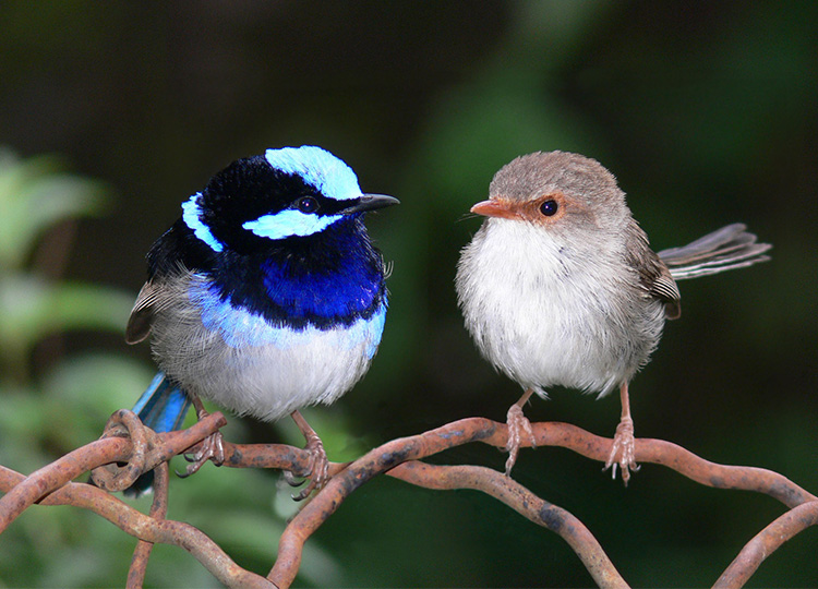 A pair of Superb Fairy Wrens. Why is the lady always the dull one...don't get me started... Image: benjamint444, under CC Licence via Wikimedia Commons.