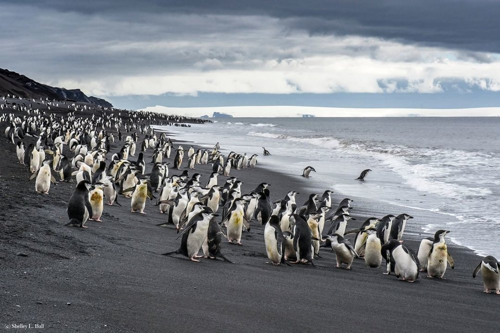chin strap penguins, deception island, antarctica