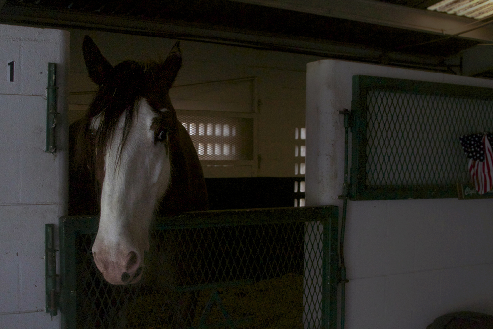Clyde in stall 1, flicking his ears from the sides to the front and back again.