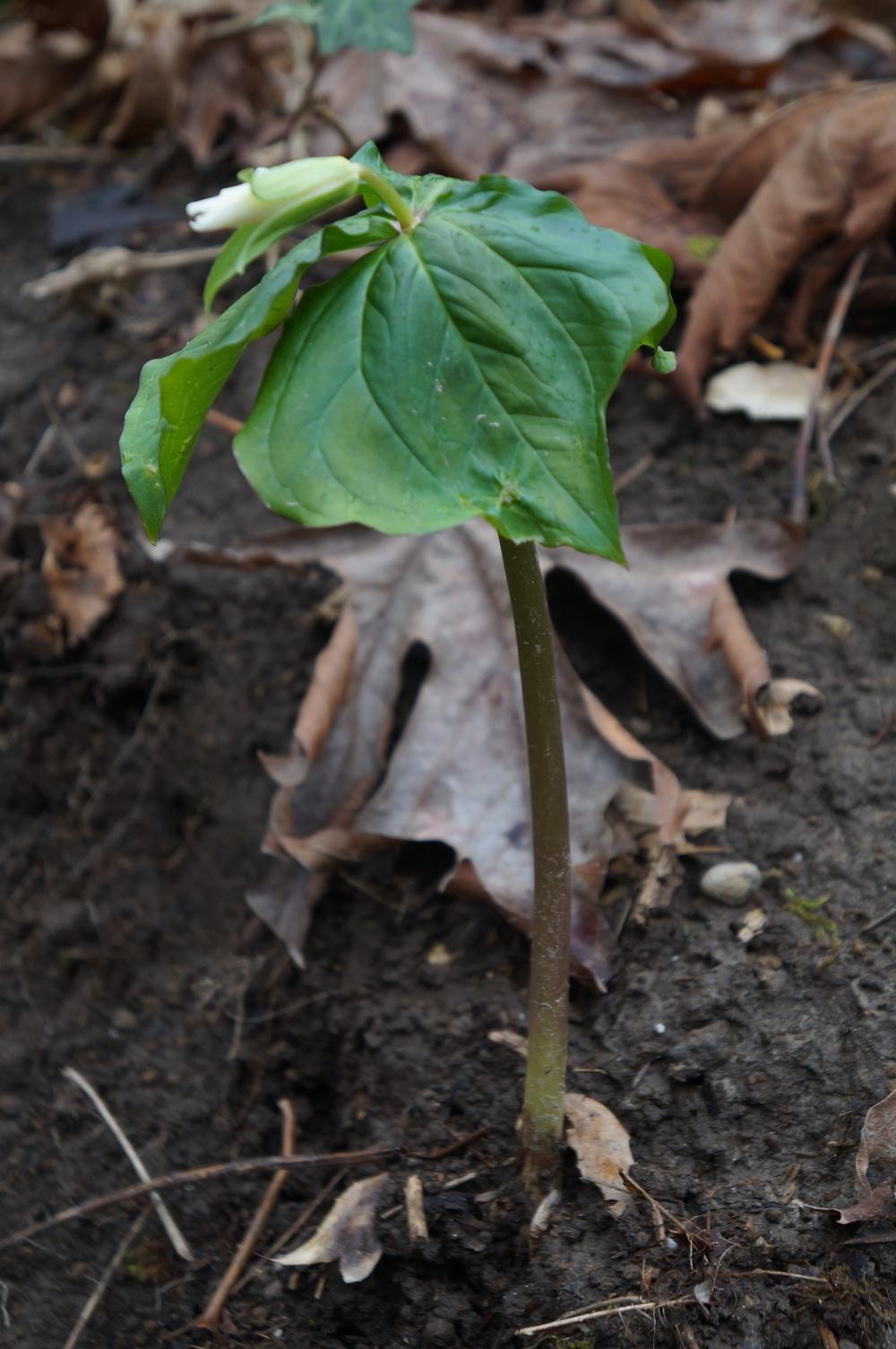 Trillium ovatum   / wake-robin. Almost spring!