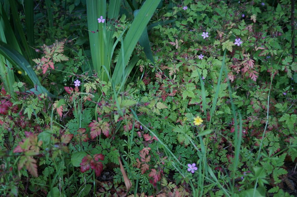 Noxious  stinky Bob / Geranium robertianum.