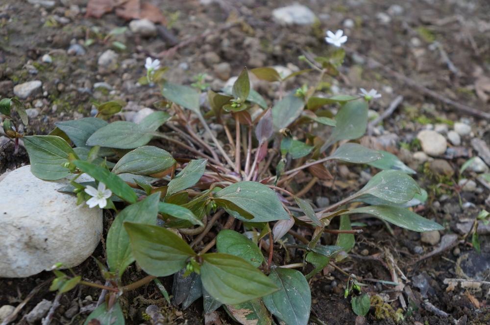 Claytonia siberica  / Siberian springbeauty