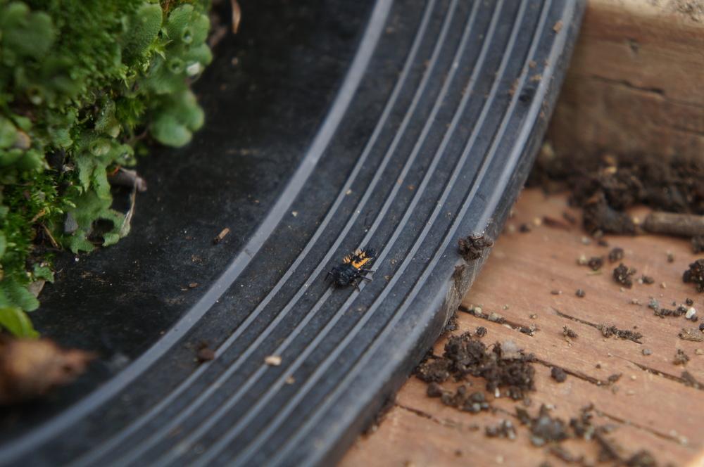 Ladybug larva.