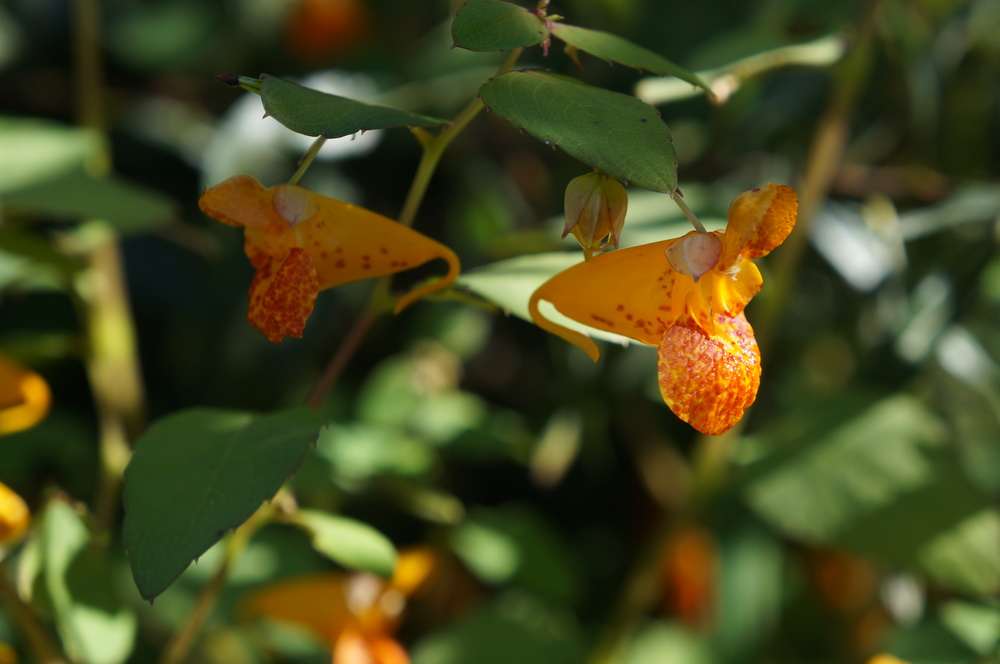 Noxious  Impatiens capensis  / spotted jewelweed