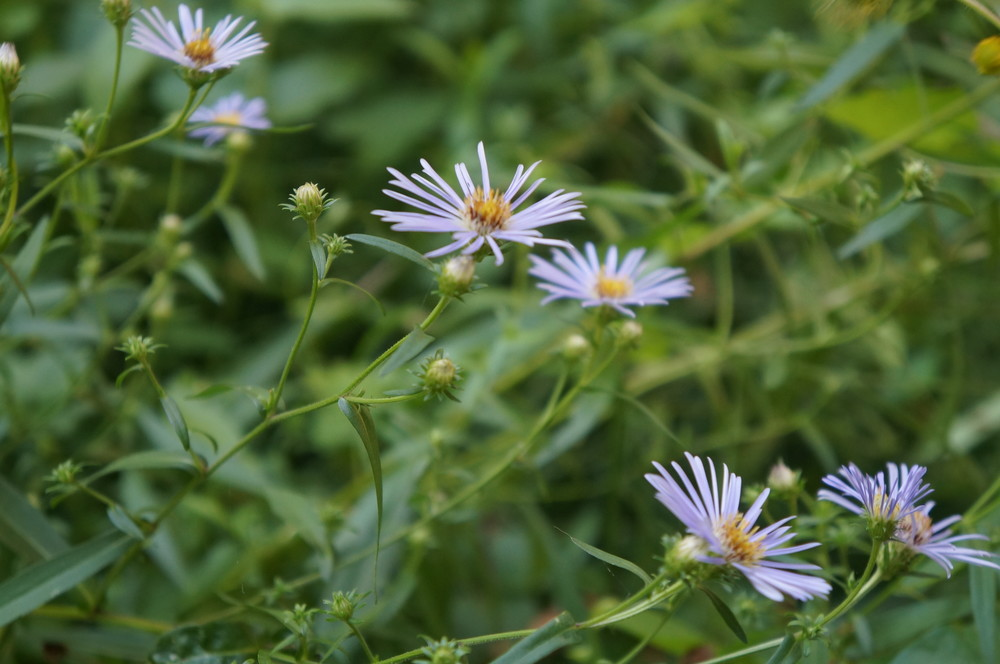 Native Aster sp.