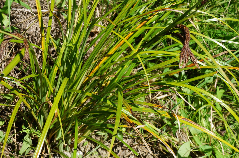 Slough sedge / Carex obnupta