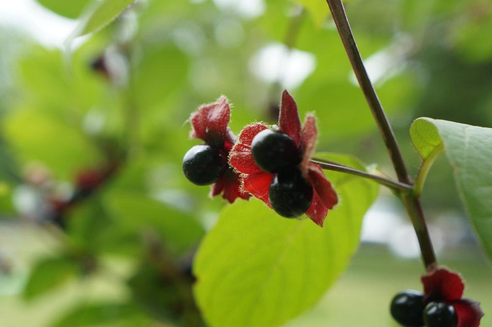 twin berry / Lonicera involucrata