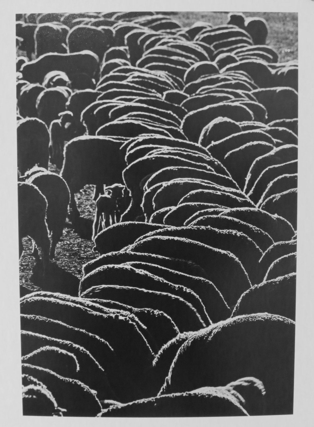 38. Richard Woldendorp, 'Hand-fed Sheep, Wheatbelt, WA', BW375, taken in c.1970, printed in 2018