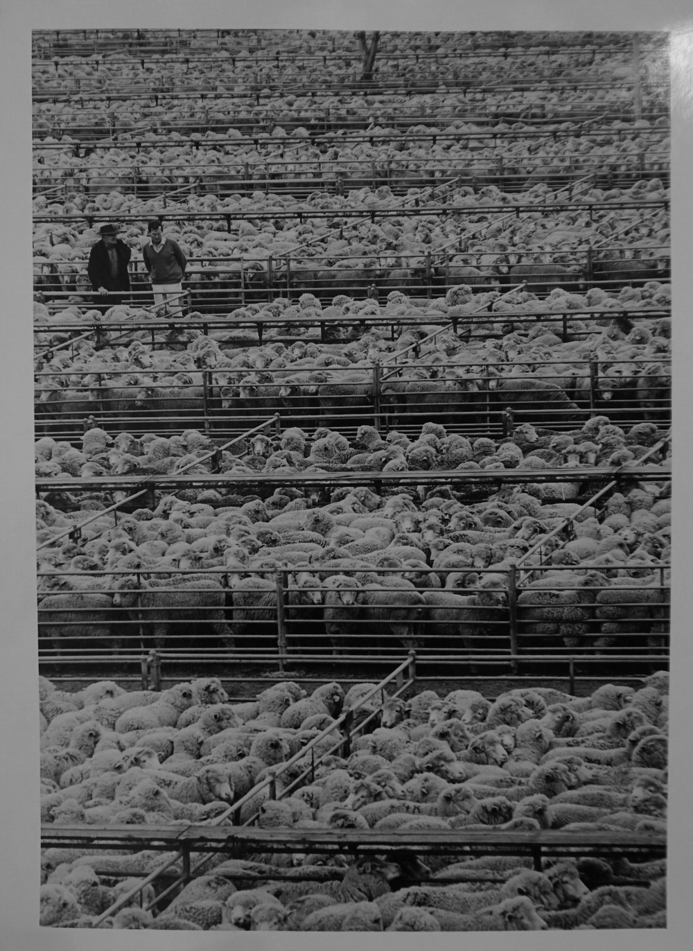 37. Richard Woldendorp, 'Wesfarmers Sheep Sale, Katanning WA', BW117, taken in c.1970, printed in 2013