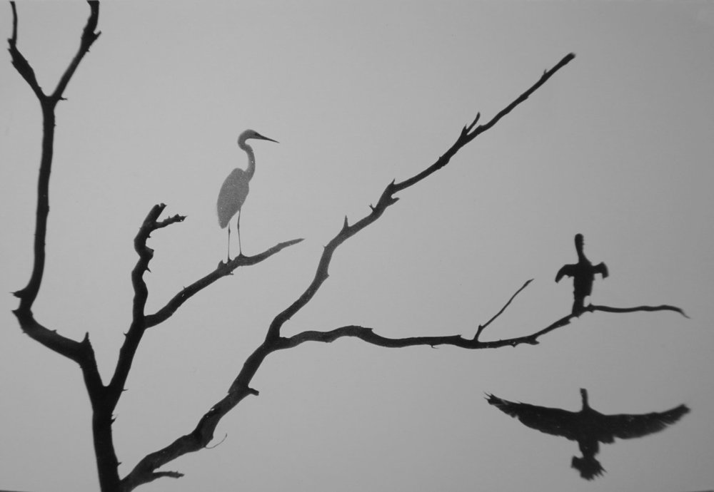58. Richard Woldendorp, 'Birds near the Swan River, Perth WA', BW37b, taken and printed in 1961, Vintage Print