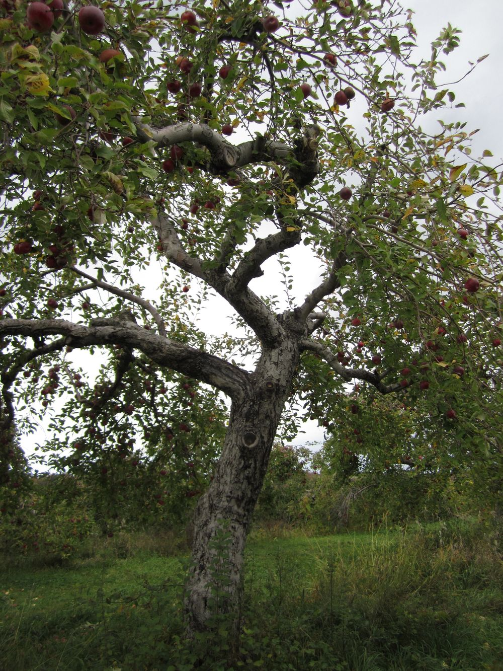 Apple picking in Indian ladder farms - Altamont, NY.