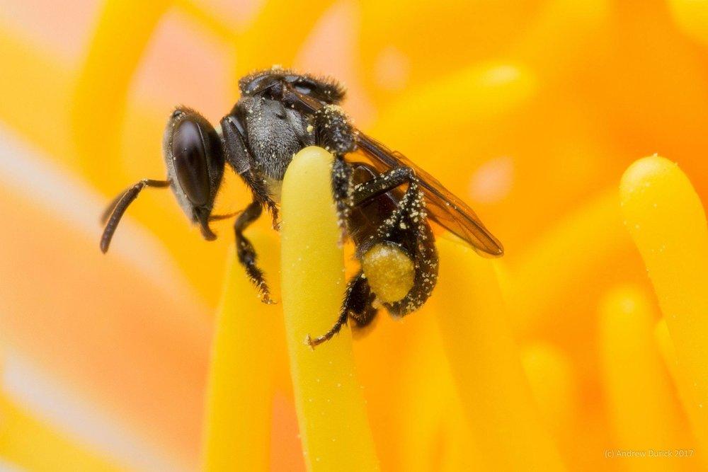 bush bee.jpg