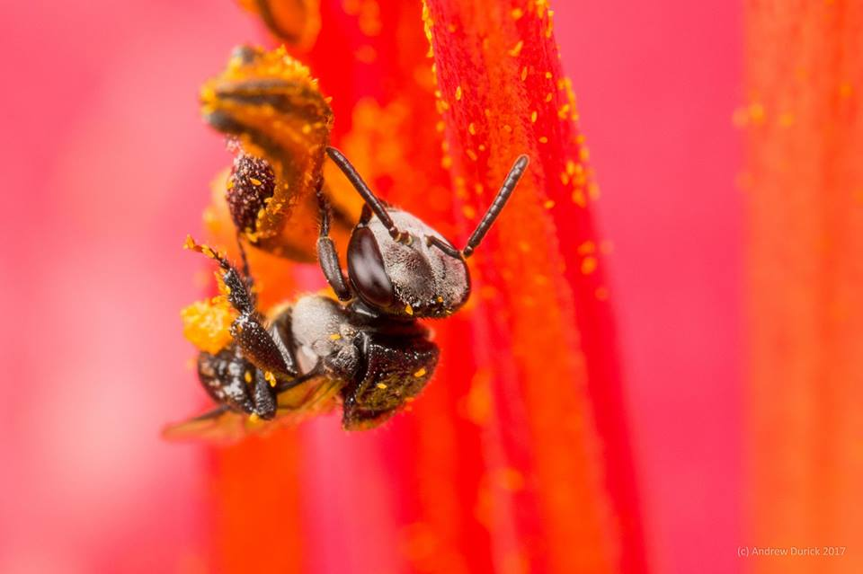 indiginous bee.jpg