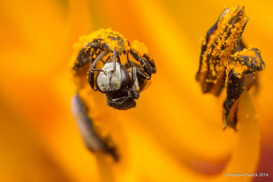 orange pollen.jpg