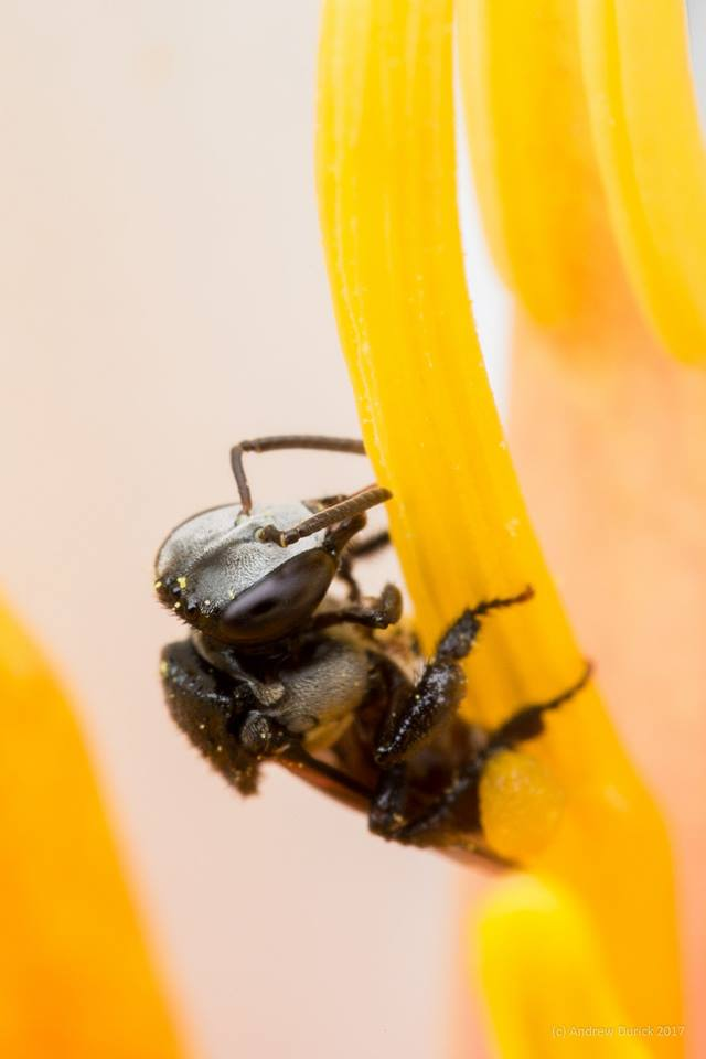 Stingless Bee.jpg