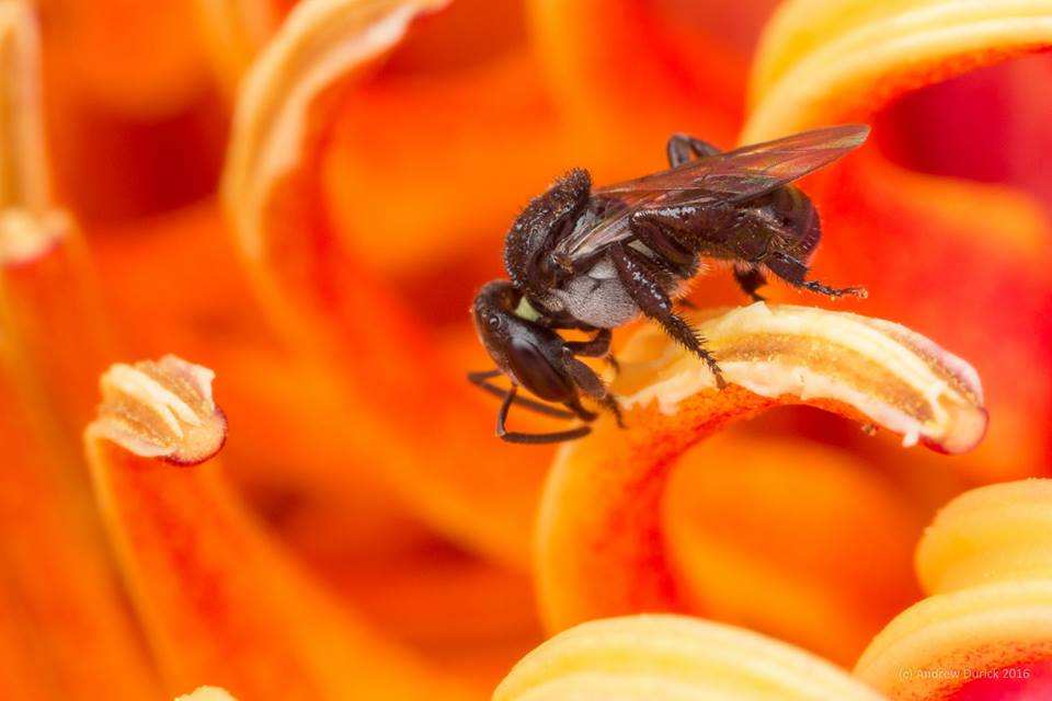 stinglessbee.jpg