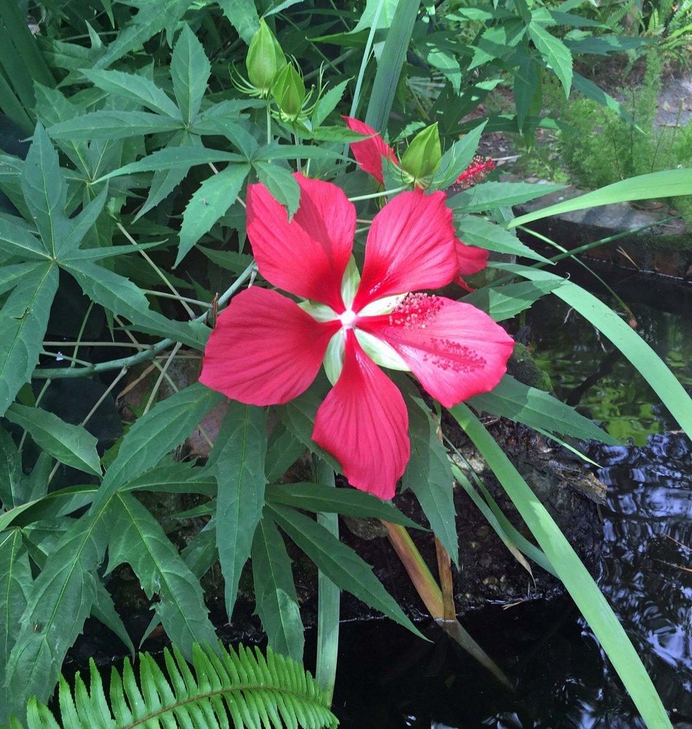 Hibiscus coccineus, native swamp hibiscus