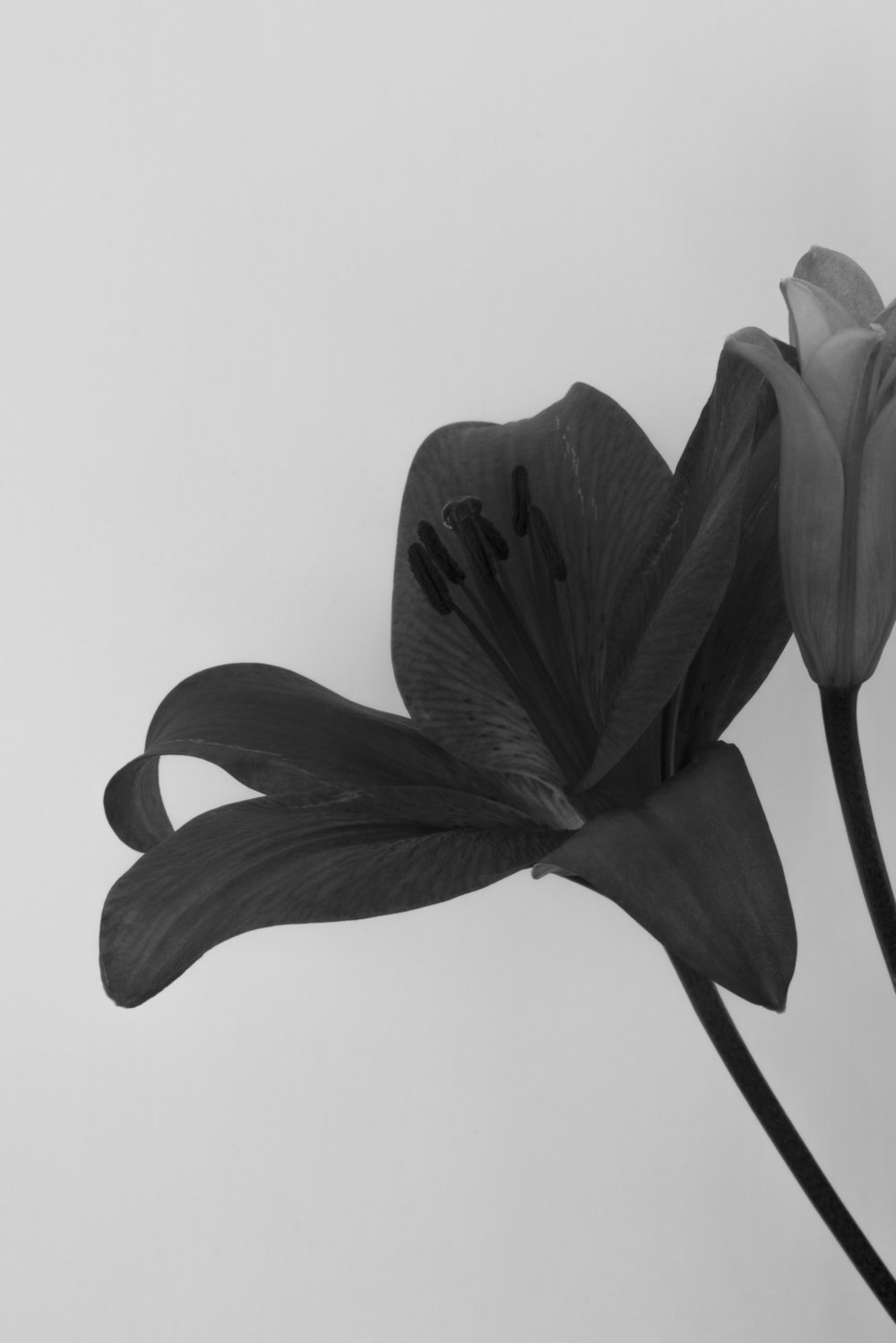Lilium Hybrid- Red Alert, homage to Robert Mapplethorpe's flowers, 2016