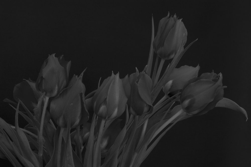 [try I] wild red tulips, 2016