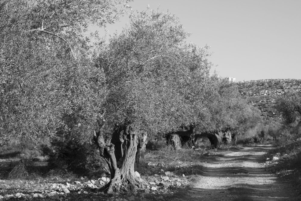 [potential image I] olive trees in the Palestinian landscape, picture taken during the observational tours with BZU professors, 2016