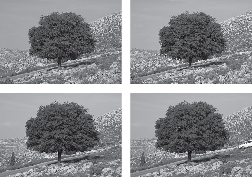[potential image II] oak tree in the Palestinian landscape, pictures taken during the observational tours with BZU professors, 2016.I was extremely anxious about the white vehicle possibly being a settler's