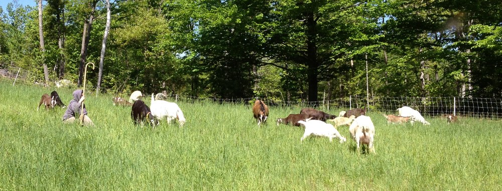 The Little White Goat Dairy herd at Heritage Fields Farm