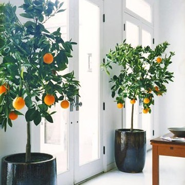 Orange+Trees+as+a+House+Plant++Yes.jpg