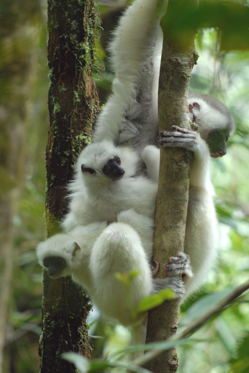 Silky Sifaka Adult Carries Two Young