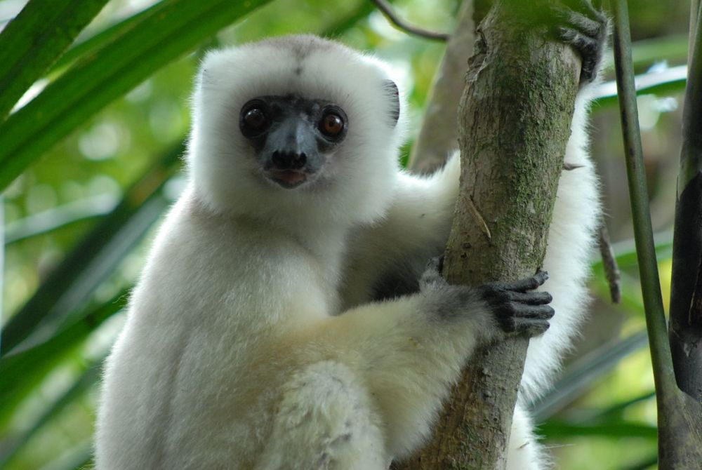 Silky Sifaka Stares