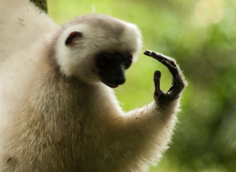 Silky Sifaka Thinker