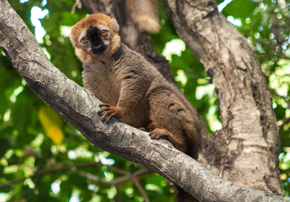 Red-Fronted Lemur 1