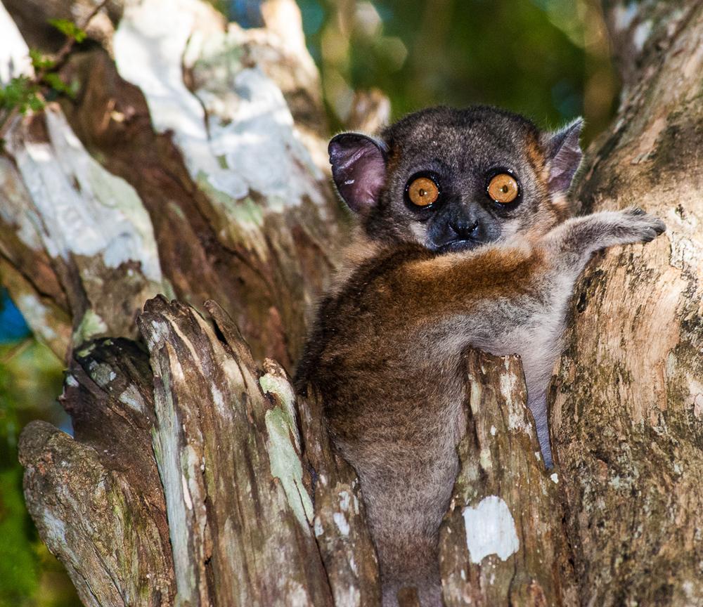 Peek-a-boo Lemur