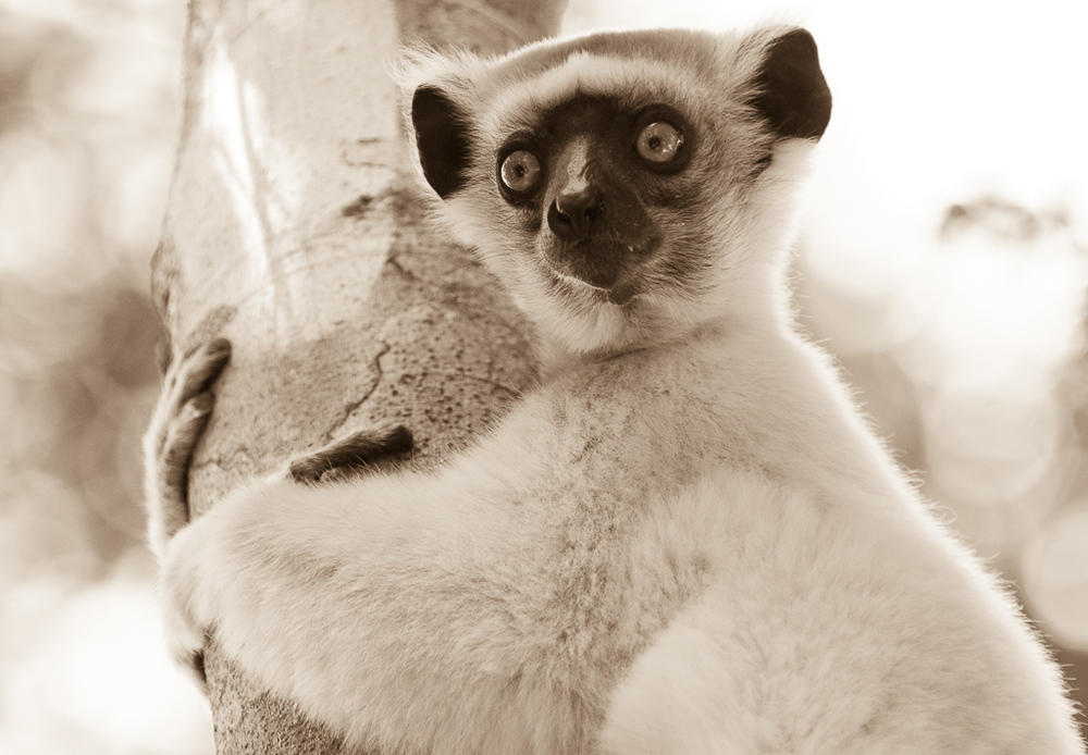Golden-Crowned Sifaka in sepia tone