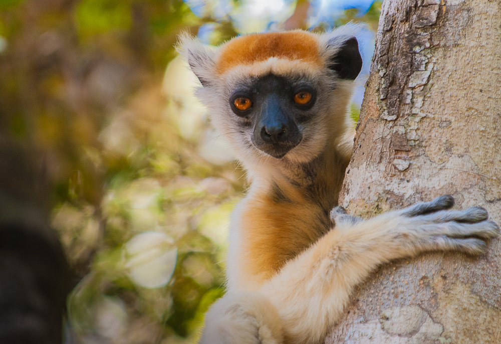 Grumpy Lemur