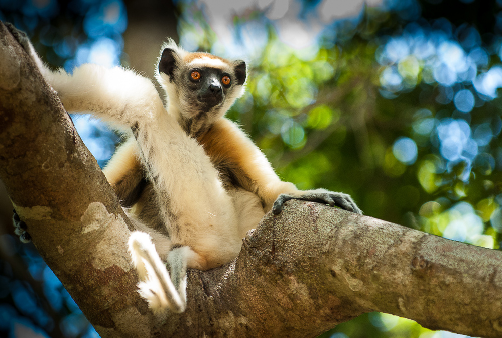 Golden-Crowned Sifaka — lookout