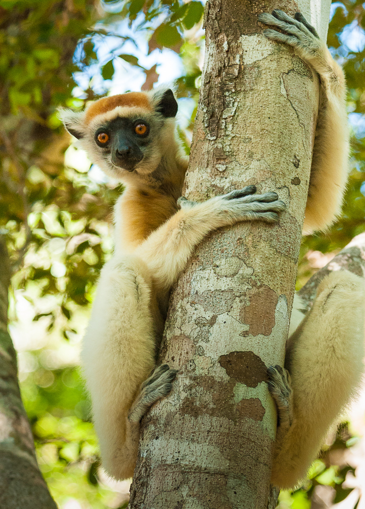 Golden-Crowned Sifaka — fingers and toes