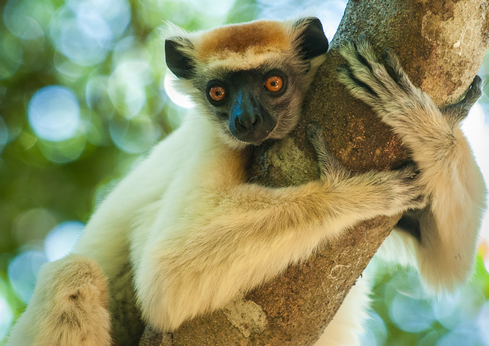 Golden-Crowned sifaka hugs tree