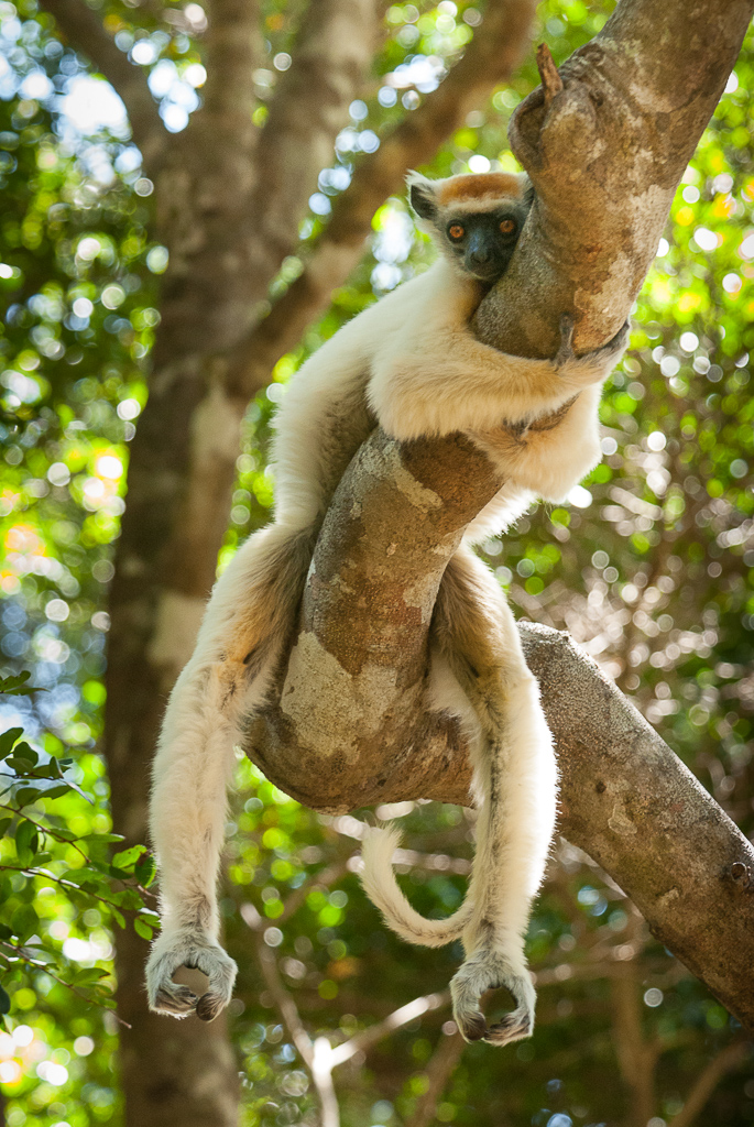 Golden-Crowned sifaka hangs
